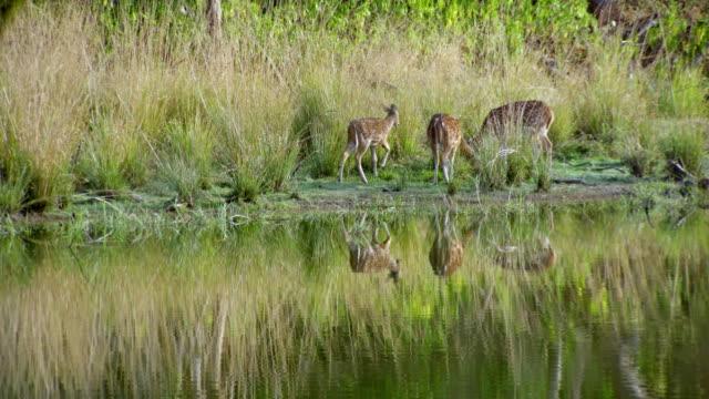 deers maculati al pascolo vicino alla riva del lago - riserva naturale parco nazionale video stock e b–roll