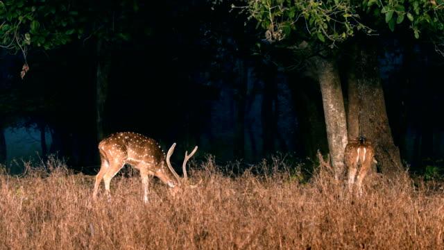 benekli geyikler veya chital otlatma - benekli geyik stok videoları ve detay görüntü çekimi
