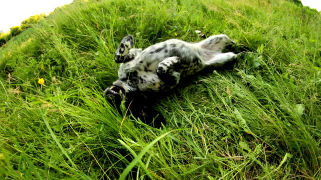 Spotted dog having fun in grass video