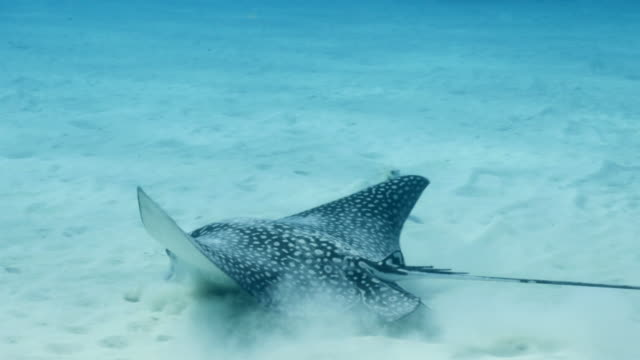 Spotted Eagle Ray swim in shallow water of coral reef - Caribbean Sea / Curacao video