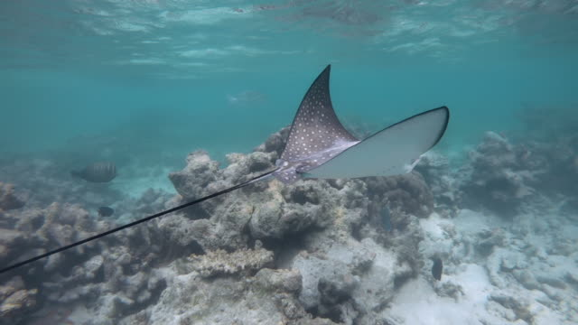 vídeos de stock e filmes b-roll de spotted eagle ray swimming underwater in maldives indian ocean waters - uge