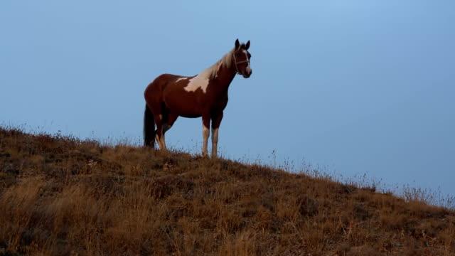 gesichtetes pferd steht auf einem hügel vor blauem himmel - hengst stock-videos und b-roll-filmmaterial