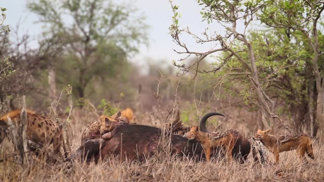 Spotted hyaena and black backed jackal in Kruger National park, South Africa Spotted hyaena and black backed jackal scavenging a buffalo carcass in Kruger National park, South Africa ; Specie Crocuta crocuta family of Hyaenidae dead animal stock videos & royalty-free footage