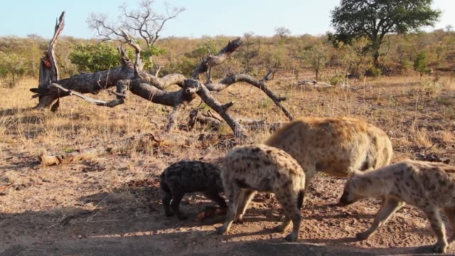 Spotted hyaena in Kruger National park, South Africa Spotted hyaena family group scavenging in Kruger National park, South Africa ; Specie Crocuta crocuta family of Hyaenidae scavenging stock videos & royalty-free footage