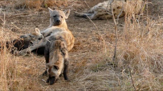 spotted hyaena in kruger national park, south africa - część ciała zwierzęcia filmów i materiałów b-roll