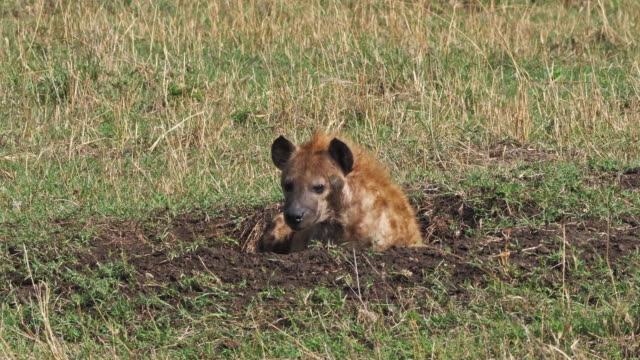 Spotted Hyena, crocuta crocuta, Adult resting, Masai Mara Park in Kenya, Real Time 4K Spotted Hyena, crocuta crocuta, Adult resting, Masai Mara Park in Kenya, Real Time 4K scavenging stock videos & royalty-free footage