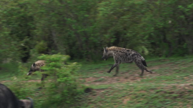 Spotted Hyena, crocuta crocuta, Adults running, Masai Mara Park in Kenya, Real Time 4K Spotted Hyena, crocuta crocuta, Adults running, Masai Mara Park in Kenya, Real Time 4K scavenging stock videos & royalty-free footage