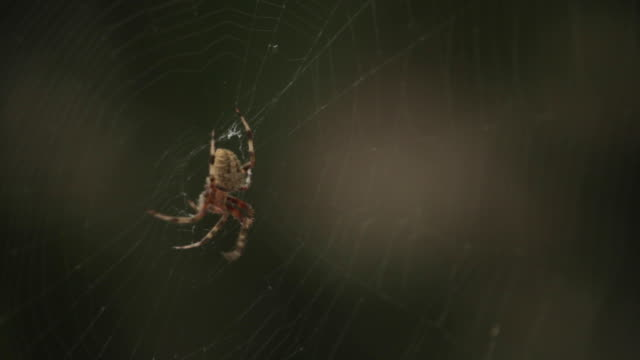Spotted orb weaver spider in the center of its web