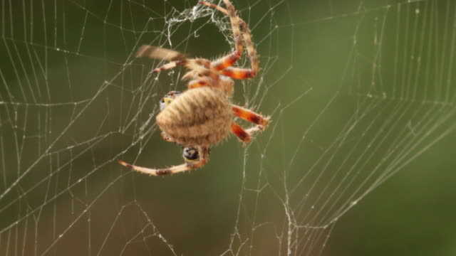 Spotted orb weaver spider mummifying a bug