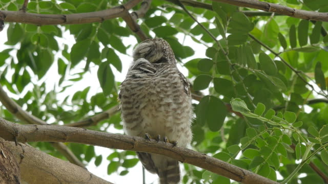spotted owlet clean itself on tree. - уход за поверхностью тела у животных стоковые видео и кадры b-roll