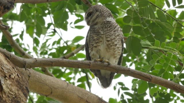 stockvideo's en b-roll-footage met gevlekte owlet schoon zich in boom. - uil