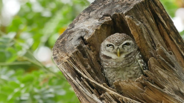 spotted owlet on tree. - appollaiarsi video stock e b–roll