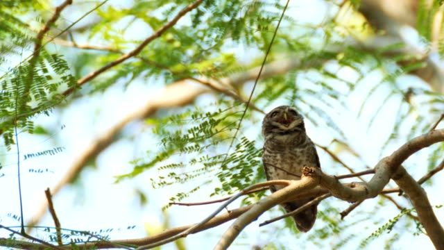 Spotted owlet on tree. video