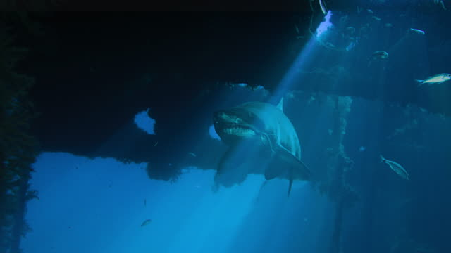 spotted ragged tooth shark - sandtiger shark - is swimming in a wreck - кораблекрушение стоковые видео и кадры b-roll