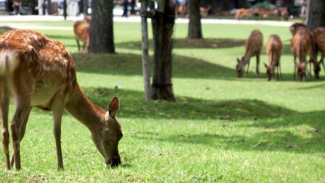 spotted sika deer scratching its face - benekli geyik stok videoları ve detay görüntü çekimi