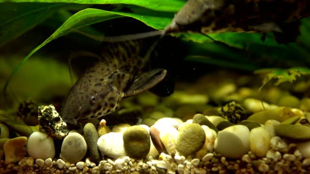 nicht so doll dekorative welse im aquarium füttern. - ichthyologie stock-videos und b-roll-filmmaterial