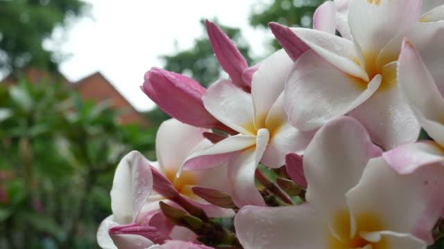 spray fertilizer to Frangipani flower on tree video