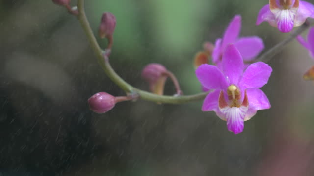 Spray On Pink Orchid Dolly Shot