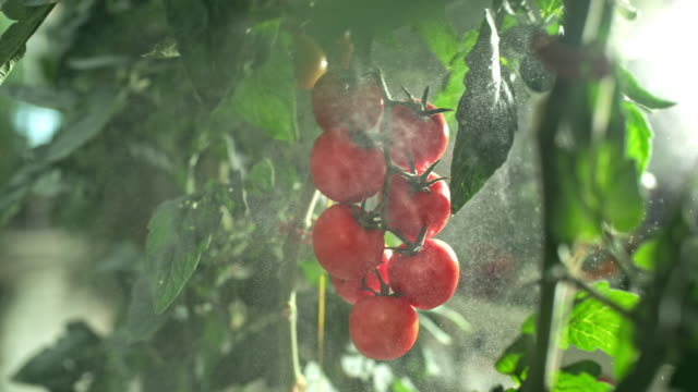 slo mo spraying tomatoes in a greenhouse - pomodoro video stock e b–roll