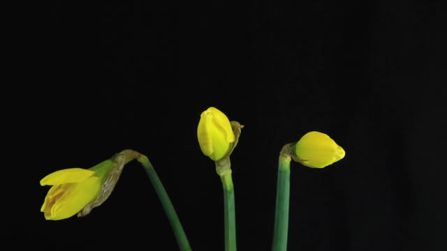Spring and Easter Yellow Daffodils flowers blooming video
