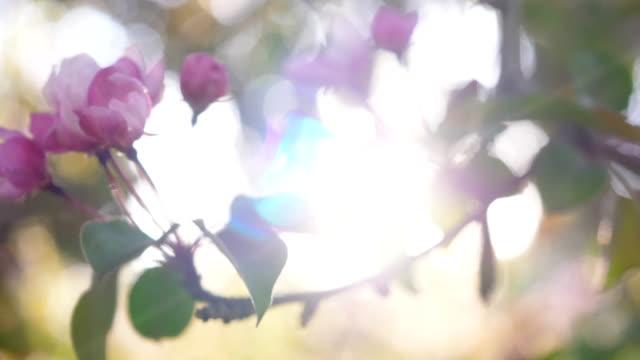 spring apple blossoms. apple tree blossoms in the sunshine garden. - pistillo video stock e b–roll