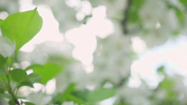 spring apple blossoms. - pistillo video stock e b–roll