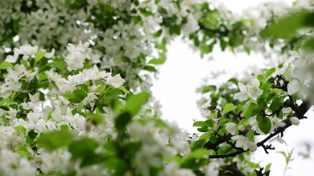 Spring apple flower white tree brunch nature close up macro 4k video