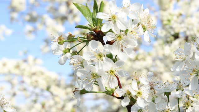 Spring background art with white cherry blossom video