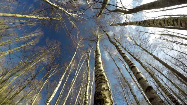 Spring birch forest in wind from beneath and clouds motion, time lapse video