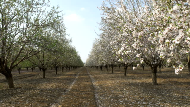 vídeos de stock e filmes b-roll de spring bloom on the almond farm, israel. - amendoas