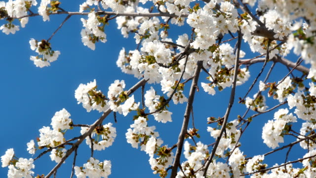 Spring blossom tree with flowers 4k video