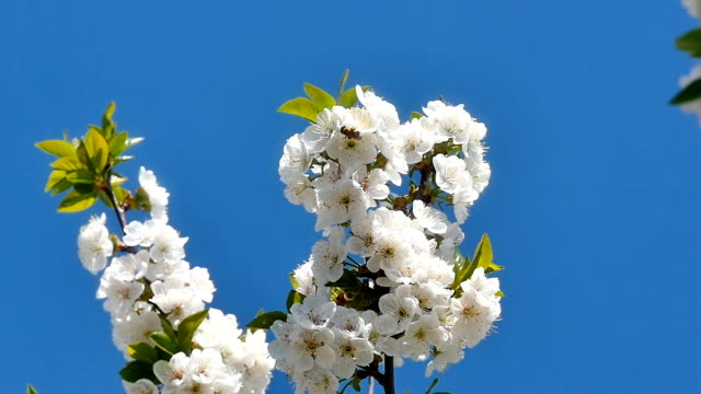 Spring blossom tree with flowers video