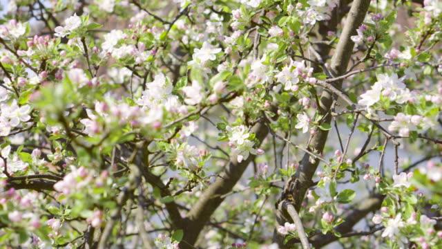 våren blossom - äppelblom bildbanksvideor och videomaterial från bakom kulisserna