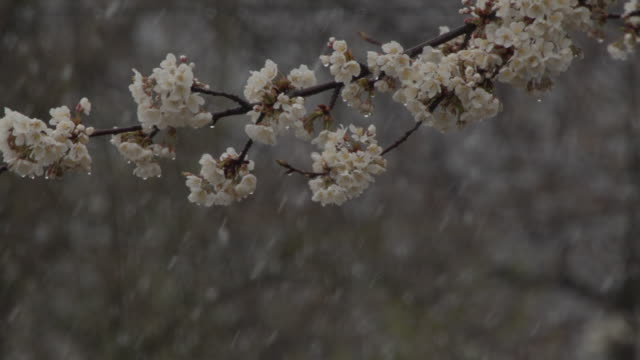 spring buds and flowers of fruit tree - acqua ghiacciata video stock e b–roll