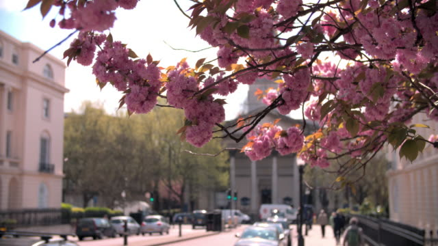 Spring cherry blossom in city street, Marylebone, London video