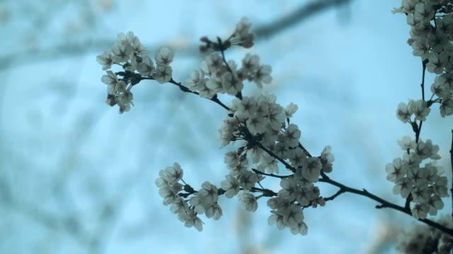 kirschblüten am gipfel blüte im frühjahr. - kontrastreich stock-videos und b-roll-filmmaterial