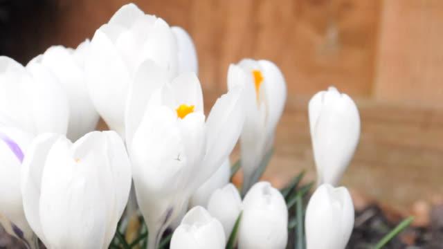 spring crocus blowing in breeze video