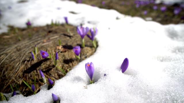 vidéos et rushes de crocus de printemps dans la neige, éclairé par le soleil - crocus