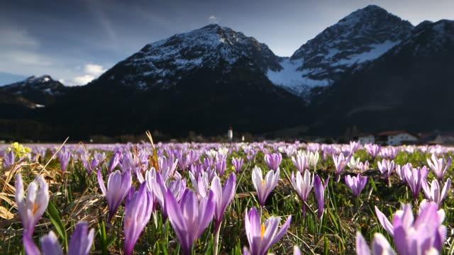 spring crocus meadow in the alps, tirol - austria video