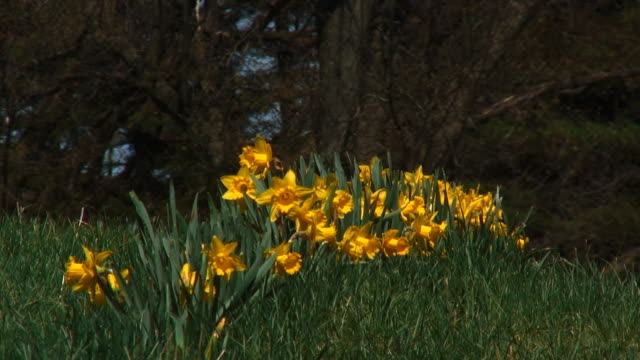 Spring Daffodils 01 video