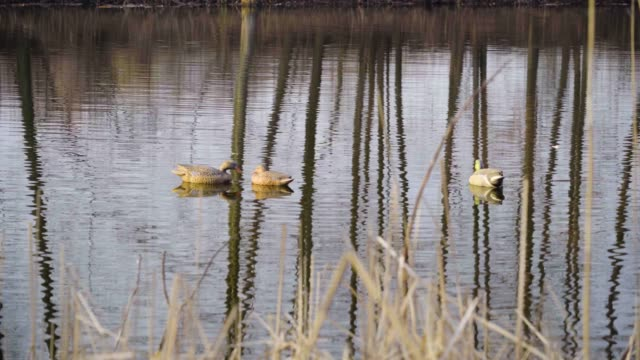 Spring duck hunting, plastic models of ducks in the form of baits float near reeds on the river
