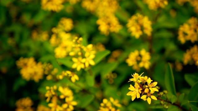 Spring field of small yellow flowers of galphimia evergreen shrub of spring field of small yellow flowers of galphimia evergreen shrub of starshaped golden thryallis glauca stock video more clips of backdrop artificial mightylinksfo
