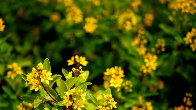 Spring field of small yellow flowers of galphimia evergreen shrub of spring field of small yellow flowers of galphimia evergreen shrub of starshaped golden thryallis glauca ornamental bloom in natural sunlight of gold shower mightylinksfo