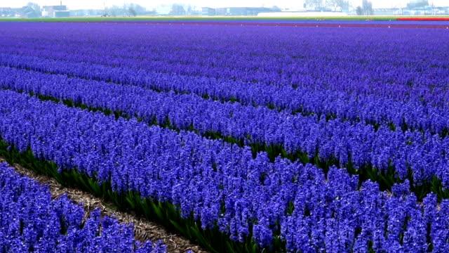 spring flower field at the netherlands - summer background filmów i materiałów b-roll
