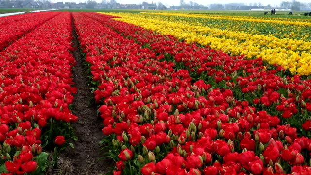 spring flower field at the Netherlands
