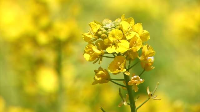 fiore di primavera di colza in asuka, nara, giappone - canola video stock e b–roll