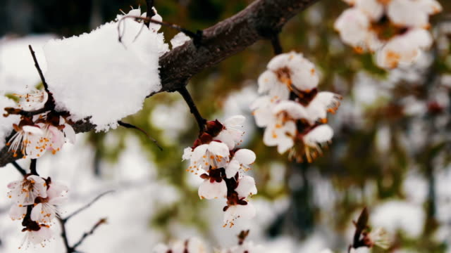 Spring flowering apple tree branches under snow video