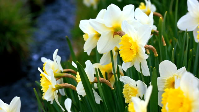 Spring. Flowering narcissus. video