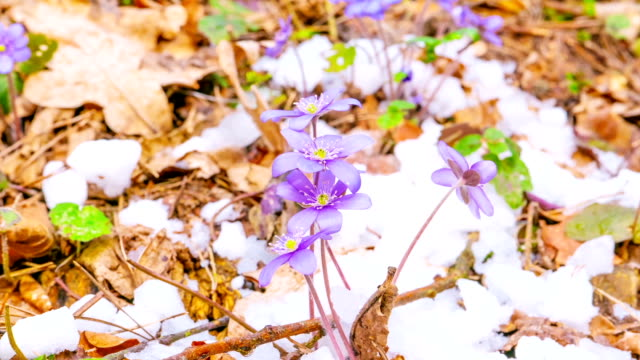 spring flowers and melting snow, time-lapse video