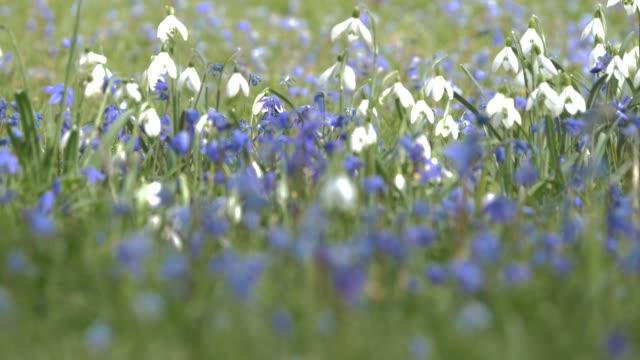 vidéos et rushes de fleurs de printemps crocus et perce-neige sur le fond de l'herbe verte. pelouse de forêt - crocus